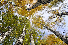 Yellow trees. View from below Stock Photos