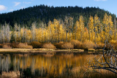 Yellow Trees by the Water. Some yellow trees in a forest reflecting in the lake below Royalty Free Stock Images