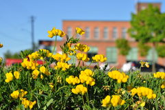 Yellow Trefoil Against Red Brick. Trefoil in bloom. Blurred background brick building Royalty Free Stock Images