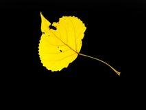 Yellow Trembling Aspen leaf on black background. Yellow Trembling Aspen leaf with black seamless uniform background Royalty Free Stock Photos