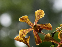 Yellow Trichoglottis orchid close up. Yellow Trichoglottis orchid, close up Royalty Free Stock Image