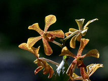 Yellow Trichoglottis orchid close up. Yellow Trichoglottis orchid closed-up Royalty Free Stock Photography