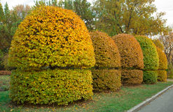 Yellow trimmed bushes trees in the park. Garden design at fall. Shaped trees and bushes Stock Photo