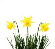 Yellow trio. Three daffodils in grass, on white Royalty Free Stock Photography