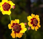 Yellow trio Stock Photography