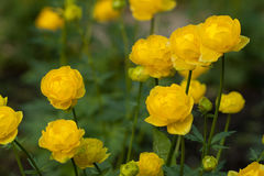 Yellow trollius Stock Photo