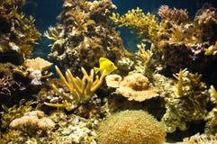 Yellow tropic fish. Sea water aquarium with corals and fish royalty free stock photos