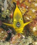 Yellow tropical angelfish, utila, honduras Royalty Free Stock Image