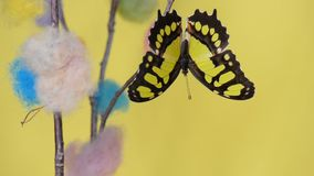 Yellow tropical butterfly sitting on a stick. And flapping wings stock video