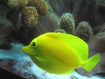 Yellow tropical fish. In the aquarium Royalty Free Stock Photos