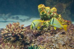 Yellow Tropical Fish stock images