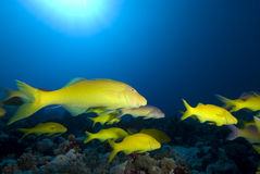 Yellow tropical fish Stock Photography