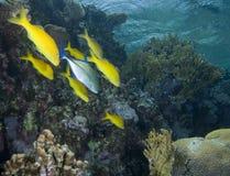 Free Yellow Tropical Fish Stock Photos - 13853483