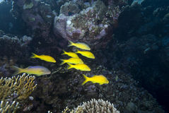 Yellow tropical fish Royalty Free Stock Photo