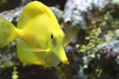 Yellow tropical fish Stock Photo