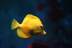 Yellow tropical fish #2 Royalty Free Stock Photos