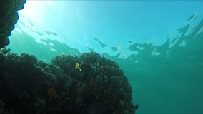 Yellow tropical fish swim around coral reef. In sunlight rays stock video footage