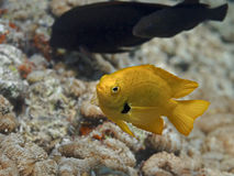 Yellow tropical fish swimming in sea water near coral reef, Sulf Stock Photos