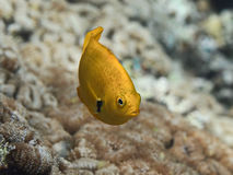 Yellow tropical fish swimming in sea water near coral reef, Sulf Stock Image