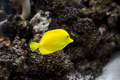 Yellow tropical fish swimming in a tank Stock Photography