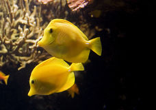 Yellow Tropical Fishes Royalty Free Stock Photo