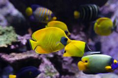 Yellow tropical fishes meet in blue coral reef sea water aquarium royalty free stock photo