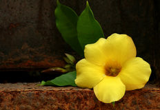 Yellow tropical flower Royalty Free Stock Images