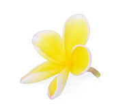 Yellow tropical flowers frangipani (plumeria) isolated on white Stock Photography