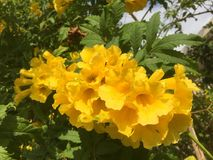Yellow tropical flowers with green foliage. A group of yellow flowers on a shrub Stock Photos