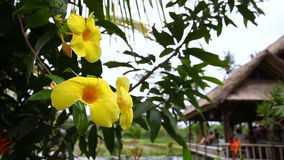 Yellow tropical flowers on the tree. Yellow tropical flowers on a tree swaying in the wind on the background of the cafe, Bali stock footage