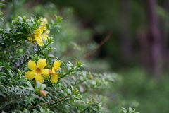 Yellow tropical flowers, Vietnam stock photography