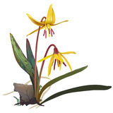 Yellow Trout lily - Erithronium americanum Stock Photos