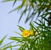 Yellow trumpet bush Royalty Free Stock Photography