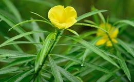Yellow trumpet bush Royalty Free Stock Image