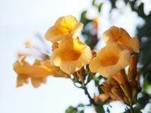 Yellow Trumpet Creeper flowers isolated against white sky royalty free stock photography