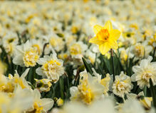 Yellow trumpet daffodil in a field of white daffodils Royalty Free Stock Image