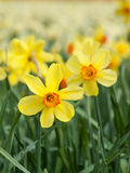 Yellow trumpet daffodils in a daffodil field Stock Photography