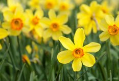 Yellow trumpet daffodils in a daffodil field Stock Images