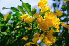 Yellow trumpet flower on the tree royalty free stock photos