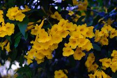 Yellow trumpet flower on the tree stock photography