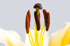 Yellow trumpet lily macro. Against plain background Royalty Free Stock Photos