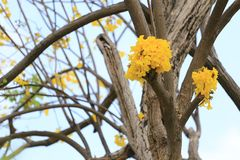 Yellow trumpet tree or tree of gold and in tropical countries ca. Lled paraguayan yellow trumpet tree Blossoming in the garden of Thailand Stock Image