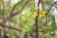 Yellow trumpet tree or tree of gold and in tropical countries ca. Lled paraguayan yellow trumpet tree Blossoming in the garden of Thailand Stock Photography