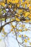 Yellow trumpet tree or tree of gold and in tropical countries ca. Lled paraguayan yellow trumpet tree Blossoming in the garden of Thailand Royalty Free Stock Photo