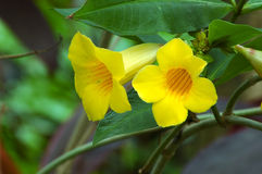 Yellow Trumpet Vine Stock Photos
