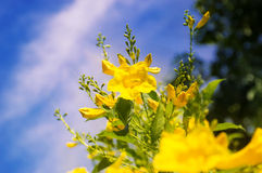 Yellow trumpetbush or scientific name is Tecoma stans and blue sky Royalty Free Stock Photos
