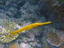 Yellow trumpetfish, Maldives Stock Photos