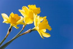 Yellow Trumpets. Spring dafodils face the sky royalty free stock image