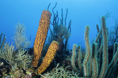 Yellow Tube Sponge. In Belize Barrier Reef royalty free stock images