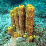 Yellow Tube Sponge Royalty Free Stock Images